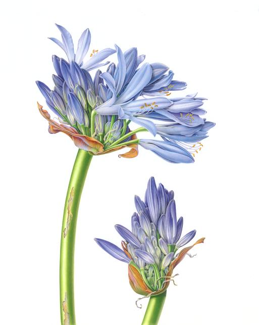 Blaxill, Susannah. Agapanthus. Web. 20 Mar. 2016. http://blaxill.com/gallery31.php.